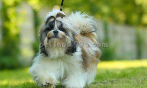 آرایش سگ تریر