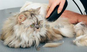اصلاح و آرایش گربه