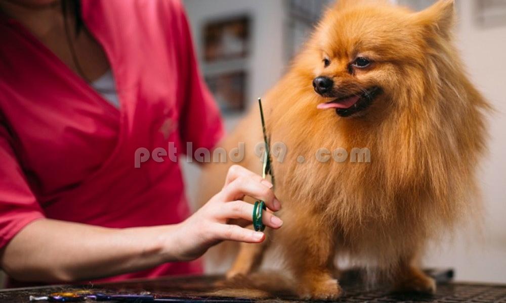 مدل مو سگ پامرانین