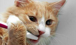 بهداشت دهان و دندان گربه
