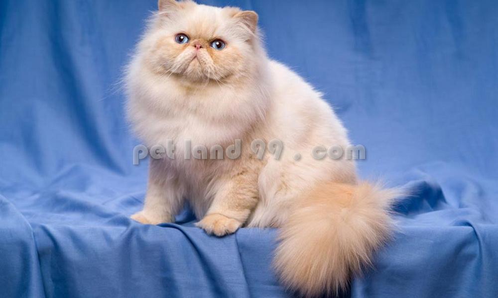 آرایش گربه پرشین