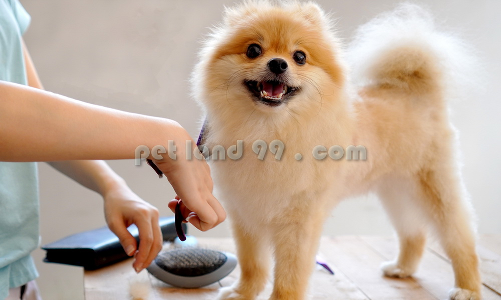 آرایش سگ پامرانین