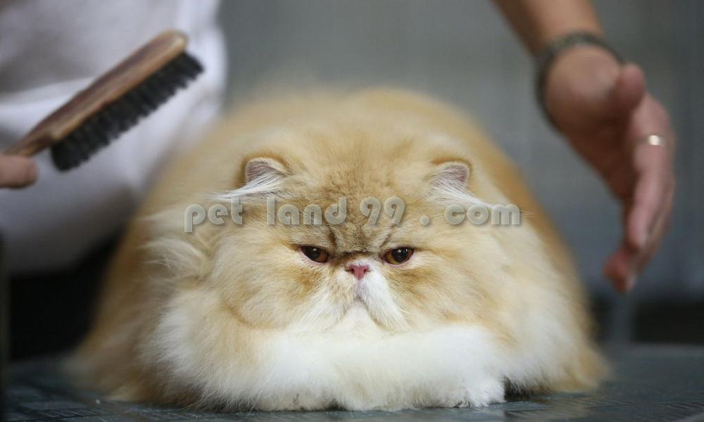 قیمت آرایش گربه
