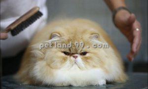 اصلاح موی گربه پرشین