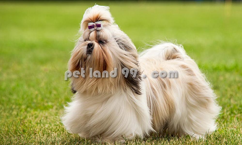 مدل موی سگ شیتزو