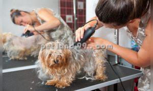 کوتاهی موی سگ تریر