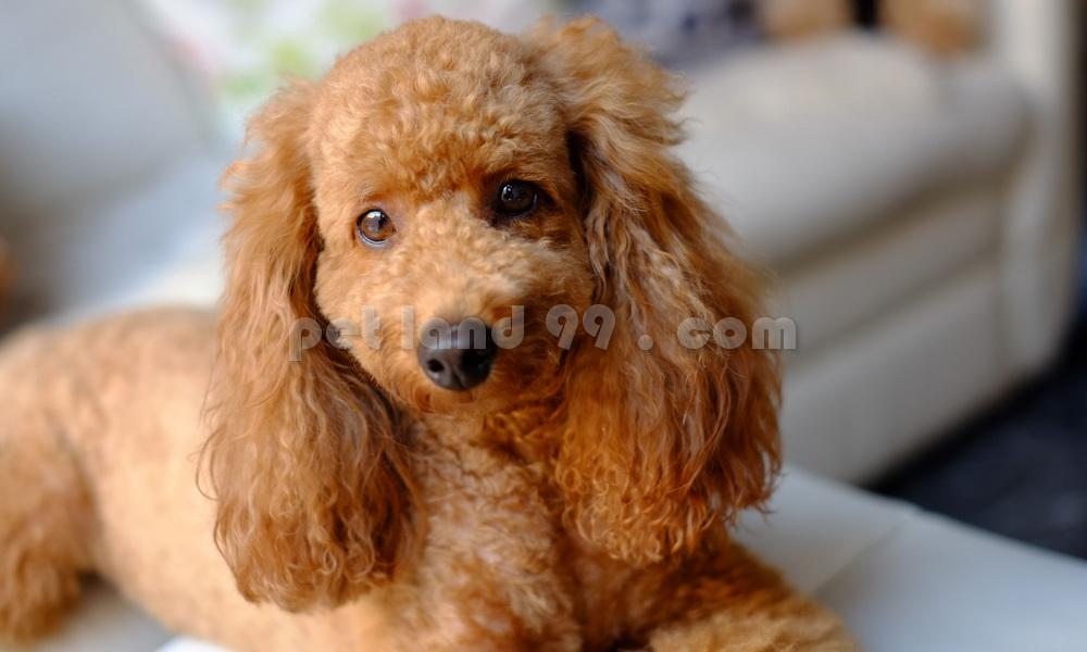 آرایش موی سگ پودل